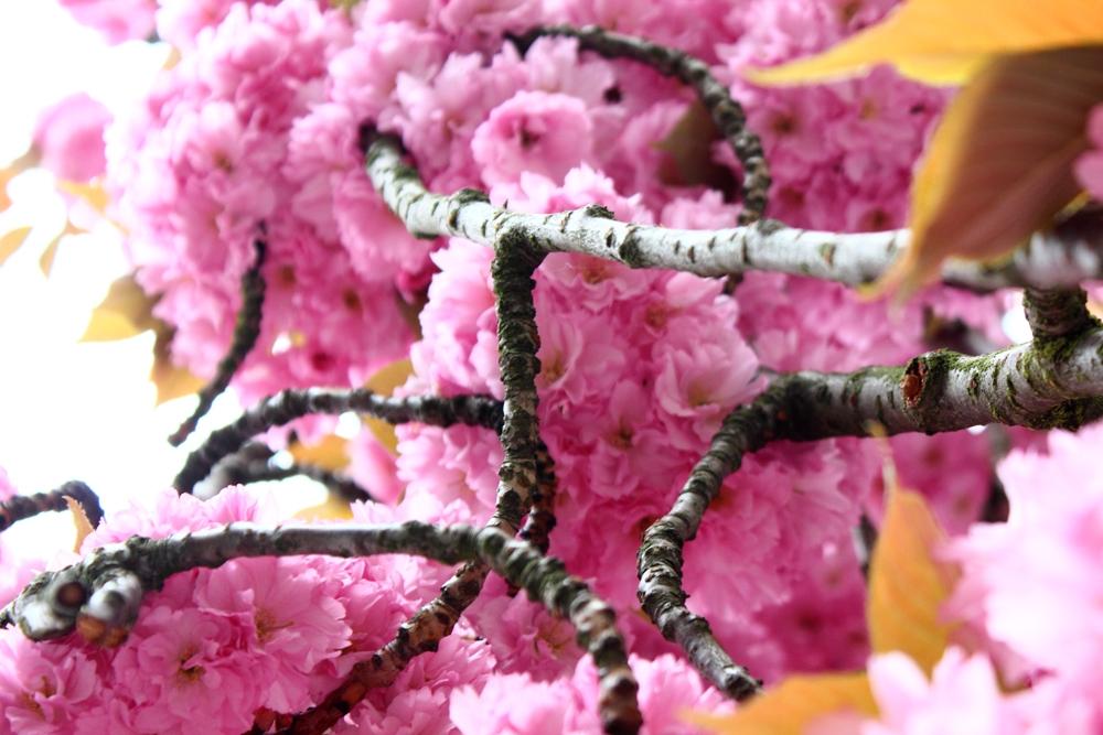 Kirschbaumblüte Fotografie
