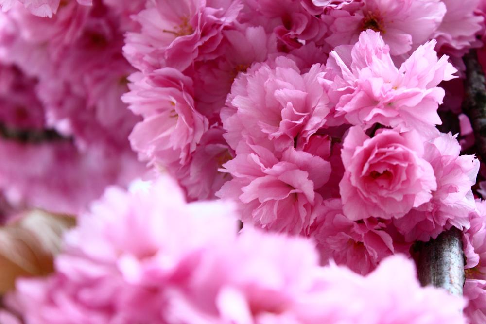 Kirschblüte Deutschland